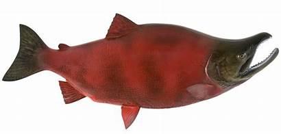Salmon Sockeye Fish Mount Mounted Freshwater Sockey