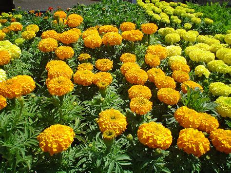 marigolds in garden black gold tagetes erecta archives black gold