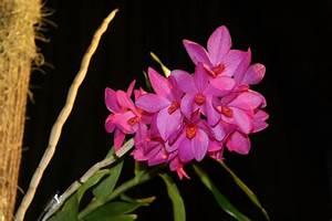 Orchidee Klebrige Tropfen : orchideen netzer archive orchideenfans blog ~ Lizthompson.info Haus und Dekorationen