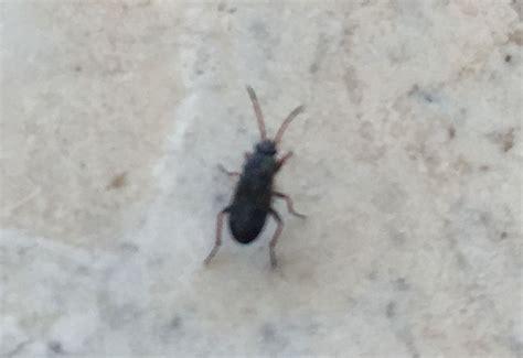 mediterranean seed bugs   whats  bug