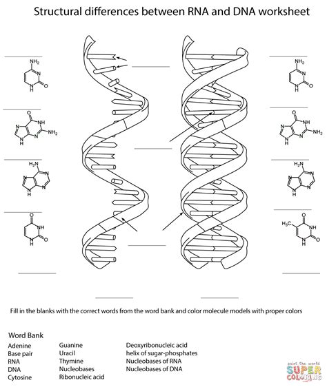 rna and dna worksheet coloring page free printable