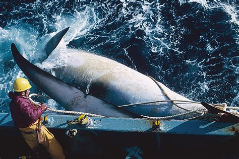 japan      count whalesnot kill themin