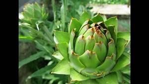 Artichoke Leaf Extract - Reviews  Facts  U0026 Warnings - By Dr Sam Robbins