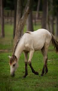 Lusitano Buckskin Horse