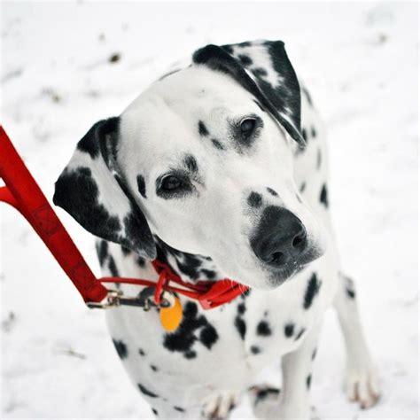 sabrina   snowdalmatian beauty cute