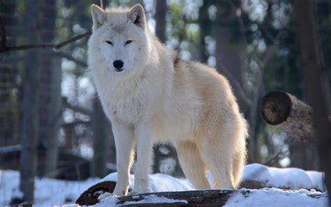 Beautiful Wolf Wallpaper Computer by Beautiful Wolf Hd Wallpapers