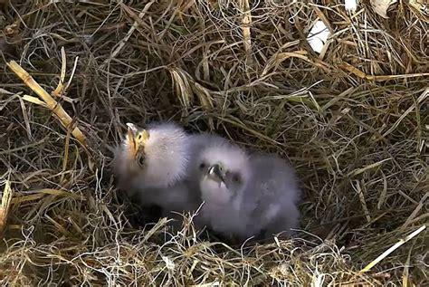 Bald Eaglets – American Eagle Foundation