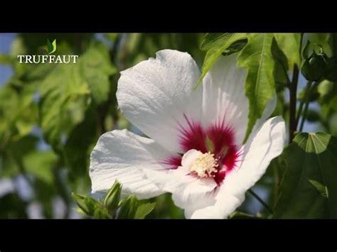 comment tailler un hibiscus de jardin jardinerie truffaut tv