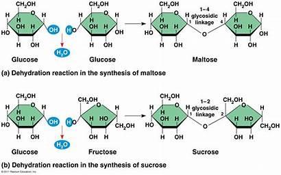 Disaccharides Biology Unit Linkage Glycosidic