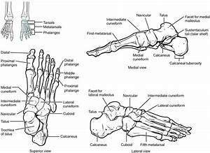 8 4 Bones Of The Lower Limb  U2013 Anatomy And Physiology