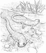 Coloring Pages Lizard Lizards Realistic Salamander Animals Coloringbay sketch template