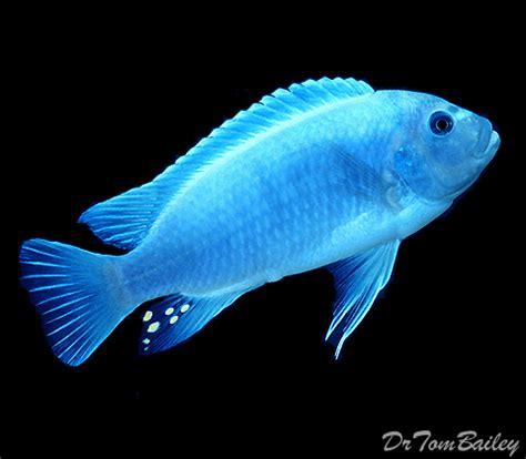 cobalt blue zebra mbuna cichlid  sale aquariumfishnet