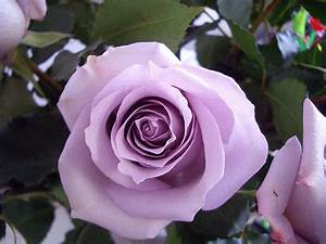 Tigerflowers  The Meaning Of Roses  Part 6  Lilac And Lavender