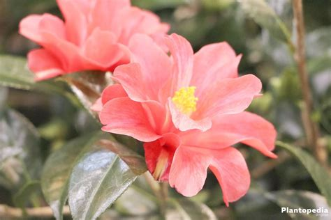 camellia in pots care camellia plant care www pixshark images galleries with a bite