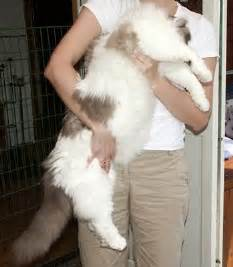 cat size ragdoll cat breed animals wiki pictures