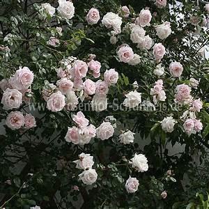 Kletterrose New Dawn : new dawn rosen online kaufen im rosenhof schultheis ~ Michelbontemps.com Haus und Dekorationen