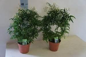 Plante Intérieur Grimpante : pour un bon sommeil une plante de jasmin dans votre chambre le pouvoir des fleurs ~ Louise-bijoux.com Idées de Décoration