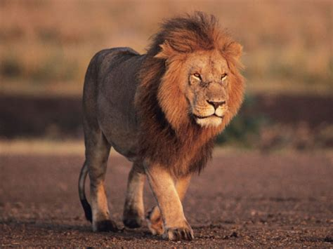ライオン:ライオン-調べてみよう!絶滅 ...