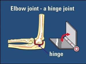 Hinge Joint Examples - Anatomy