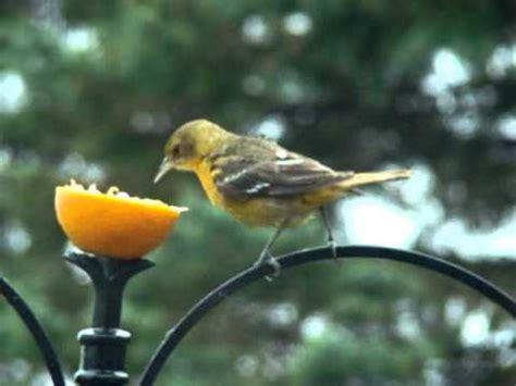 baltimore orioles   bird feeder   youtube