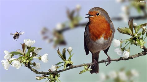 Bird, Blossoming, Twig, Robin  Birds Wallpapers 1920x1080