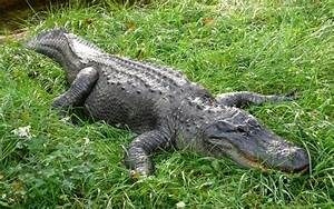 Why Is The Mugger Crocodile Classified As A Crocodile  But