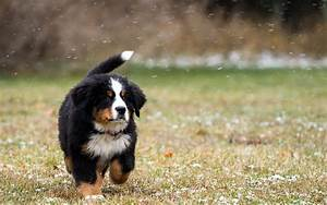 Global Pictures Gallery: Bernese mountain dog in the snow