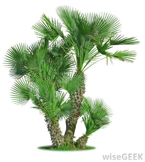 planting fan palm trees what are the best tips for planting palm trees with