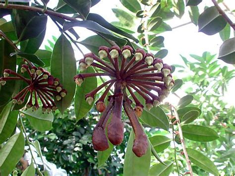 The Marcgravia Is One Weird Looking Plant. Amazing How