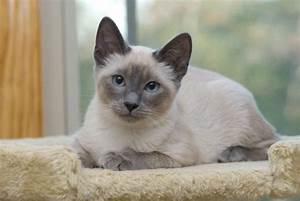Lilac Point Siamese | www.imgkid.com - The Image Kid Has It!