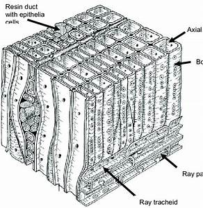 1  Sketch Of The Wood Anatomy Of A Typical Softwood  Axial