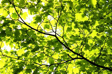 Canopy Of Leaves maple leaves maple canopy nature photos on