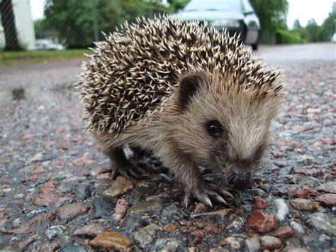 happened   scientist  hedgehogs