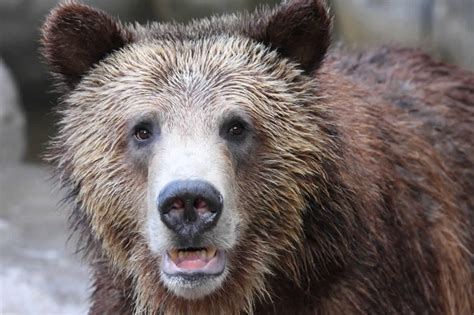 greater yellowstone grizzly bears  lose endangered