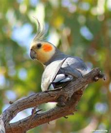 Cockatiel Parrot Birds
