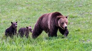 Yellowstone Grizzly Bears Are Again Listed As Threatened