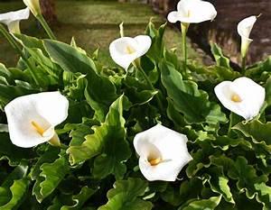 Arum Dans La Maison : arum plantation et conseils d 39 entretien ~ Melissatoandfro.com Idées de Décoration