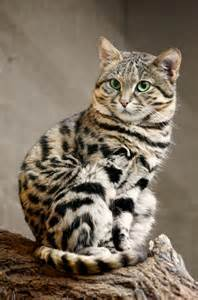 awesomely animal of the day the black footed kitten