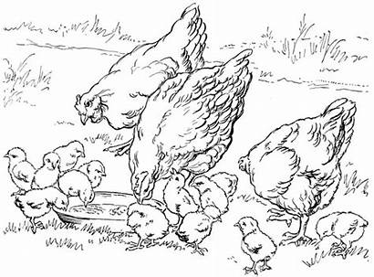 Chicken Coloring Printable Sheet Pages Books Animal