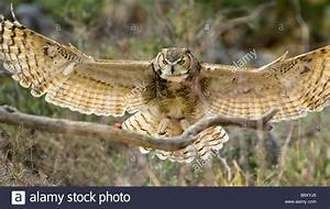 With spread wings, a great horned owl is about to land ...