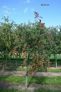 Großen Apfelbaum Kaufen : gro en baum kaufen aprikosenmirabelle aprimira gro er ~ Lizthompson.info Haus und Dekorationen