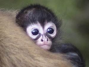 Cute little spider monkey   Carissa's Website!