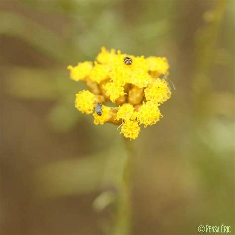 immortelle d italie cuisine immortelle d 39 italie helichrysum italicum subsp italicum