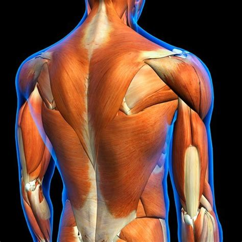 Anatomy upper back shoulder with free interactive flashcards. Rear View of Male upper back muscles anatomy in blue X-Ray ...