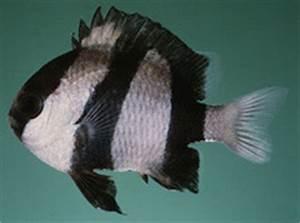 Black-and-white damselfish (Dascyllus aruanus) - Pictures ...