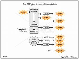 The Atp Yield From Aerobic Respiration Illustrations