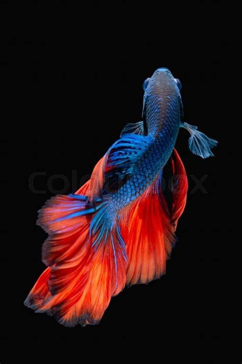 Betta fish, siamese fighting fish, betta splendens