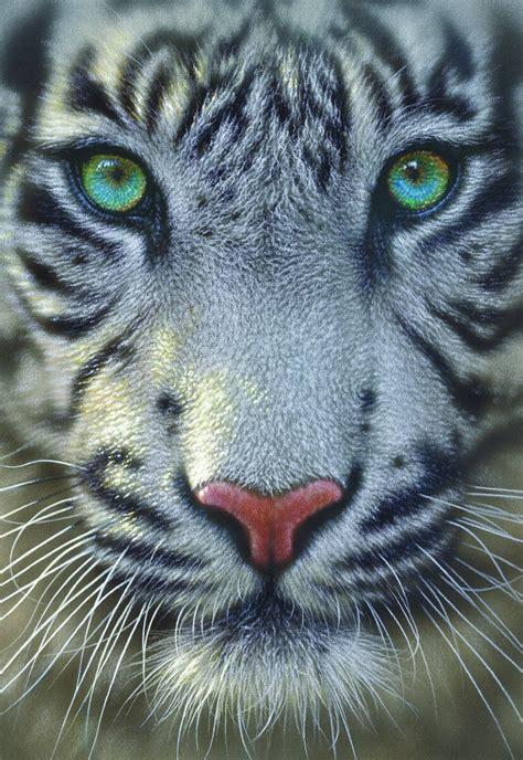 puzzle tigre blanc educa   pieces puzzles