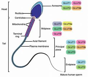 Schematic Representation Of Human Sperm Cell And