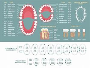 Tooth Anatomy Chart  Orthodontist Human Teeth Loss Diagram  Dental Sch By Tartila